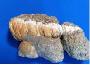 大山田産巻貝化石